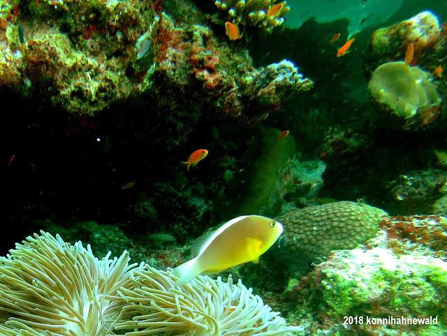 konnihahnewald, uw photography, andaman sea, indonesia, pulau weh, sumatra, sabang, iboih beach, anemonefish