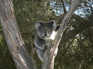 Koala bukan beruang