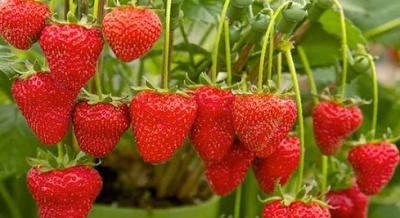 buah strobery kesehatan