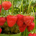 Manfaat Buah Stroberi bagi Kesehatan yang Harus anda ketahui