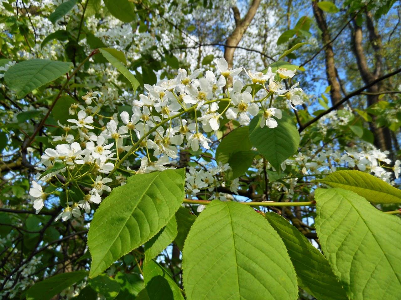 rośliny, drzewa, kwitnięcie, zdjęcie