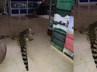 Ngeri! Ketika Seekor Buaya 'Berjalan-jalan' Di Kantor Dinas Pariwisata Belitung Timur