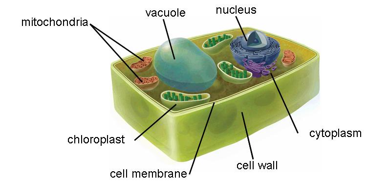 Ciencias de Joseleg: Funciones de la mitocondria, algunas ...