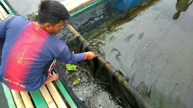 Budidaya Ikan Betutu