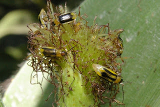 western-corn-rootworm