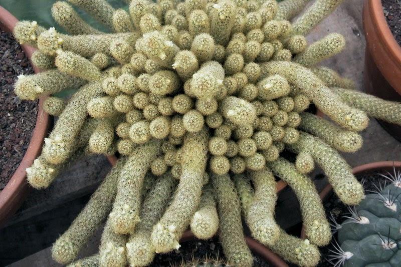 The Brain Cactus Mammillaria Elongata Cristata The Garden Of Eaden