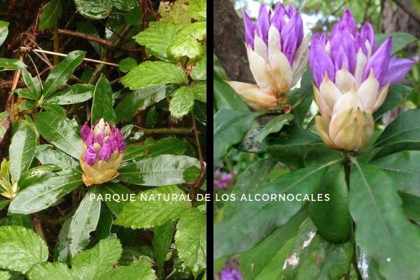 Fotos del Rododendro hechas en los Canutos del Parque Natural de los Alcornocales.