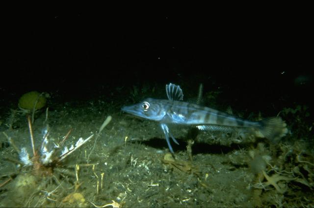 The Antarctic Sun: News about Antarctica - Bloodless ...  |Antarctic Icefish