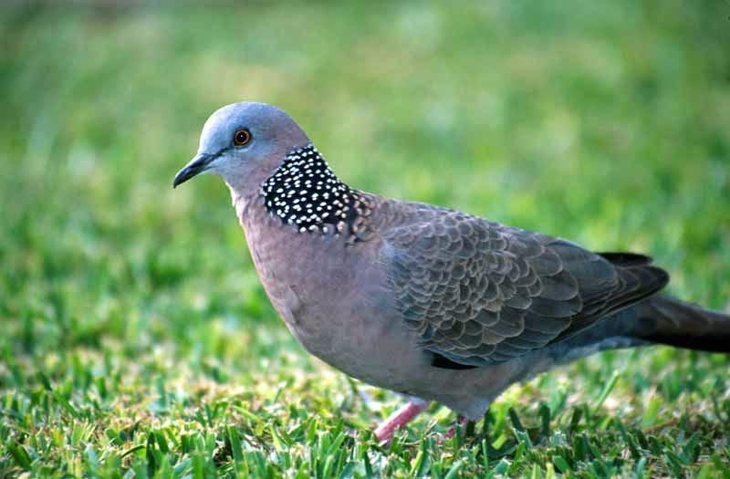 Kỹ thuật nuôi và chăm sóc chim cu gáy cho người mới bắt đầu