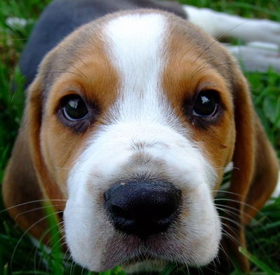 beagle puppies beagles cute puppy dog breed dogs adorable cutest pups pup ever eyes puppie info animal too