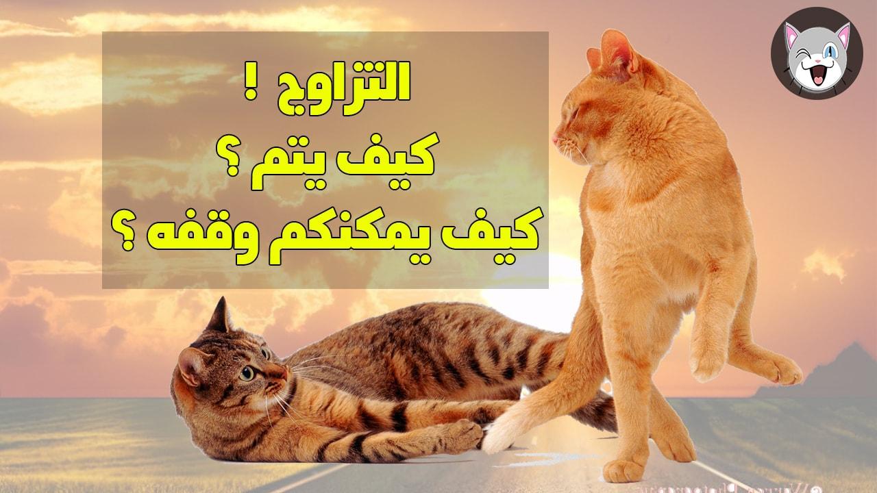 كيف تتزاوج القطط المنزلية و القطط البرية بالتفصيل