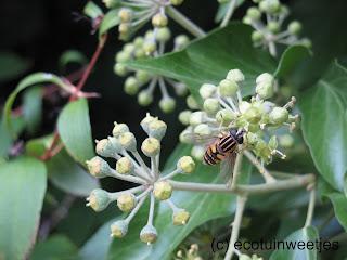 Klimop trekt veel insecten aan zoals bijen, vlinders en zweefvliegen