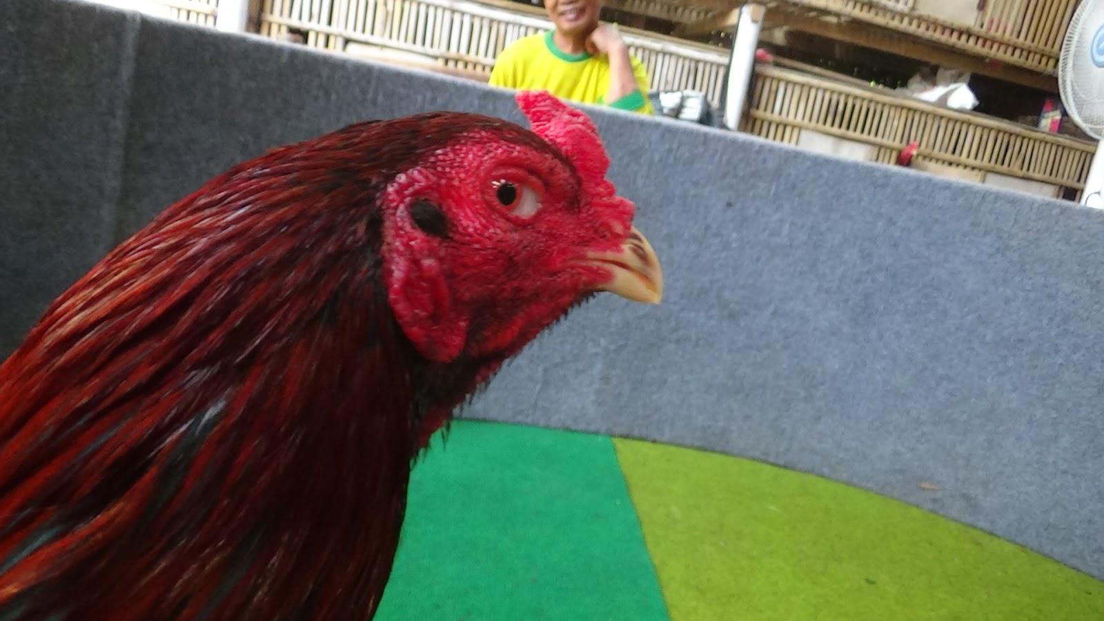 Dapatkan Gambar Mewarnai Ayam Betina Birman Anekagambarmewarnai