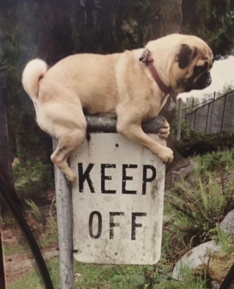 Pug on a keep off sign