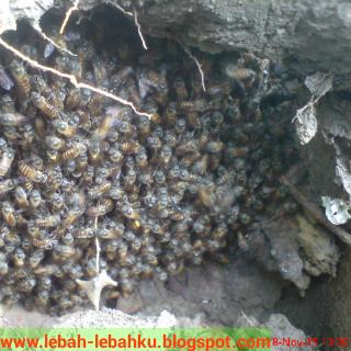 lebah madu liar