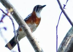 Mengenal Ciri Ciri Burung Anis Cendana Lengkap Dengan Gambar Tips Burung Ternakburung Serhamo Net