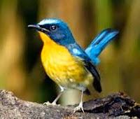 Burung anis tledekan.