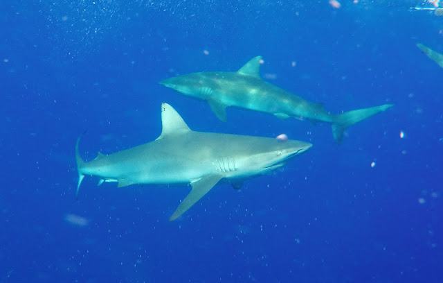 Shark Diving Oahu Hawaii