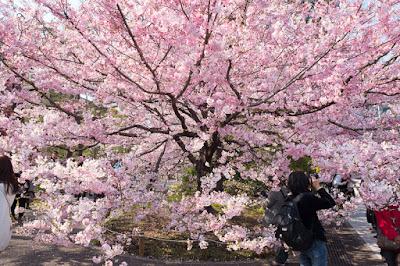 National Theatre Tokyo sakura blossoms.