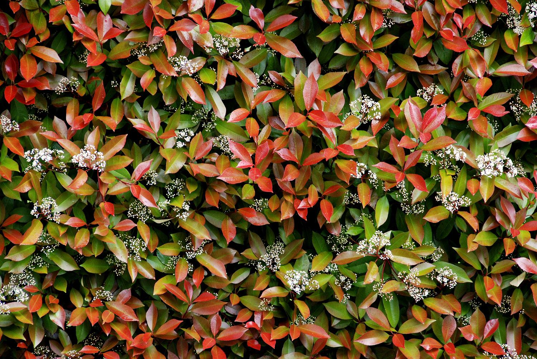 Piante Da Siepi Immagini il mondo in un giardino: tutti pazzi per la siepe di