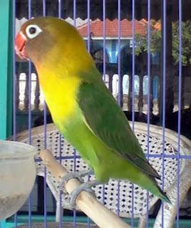 masteran, suara burung, berkicau,pleci, jalak,love bird,pecinta burung, mp3 suara burung,suara burung, suara pleci