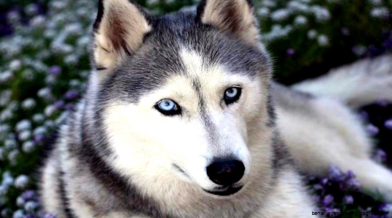 Cute Siberian Husky Puppy Wallpaper