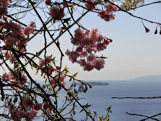 伊豆山神社の枝垂れ桜