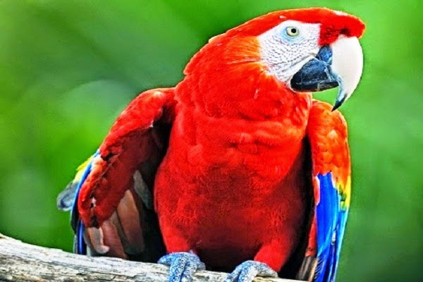 Macaws Scarlet