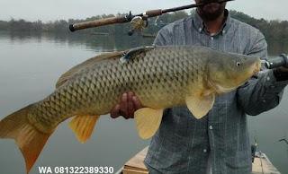 Umpan Serbuk Ikan Mas Di Waduk