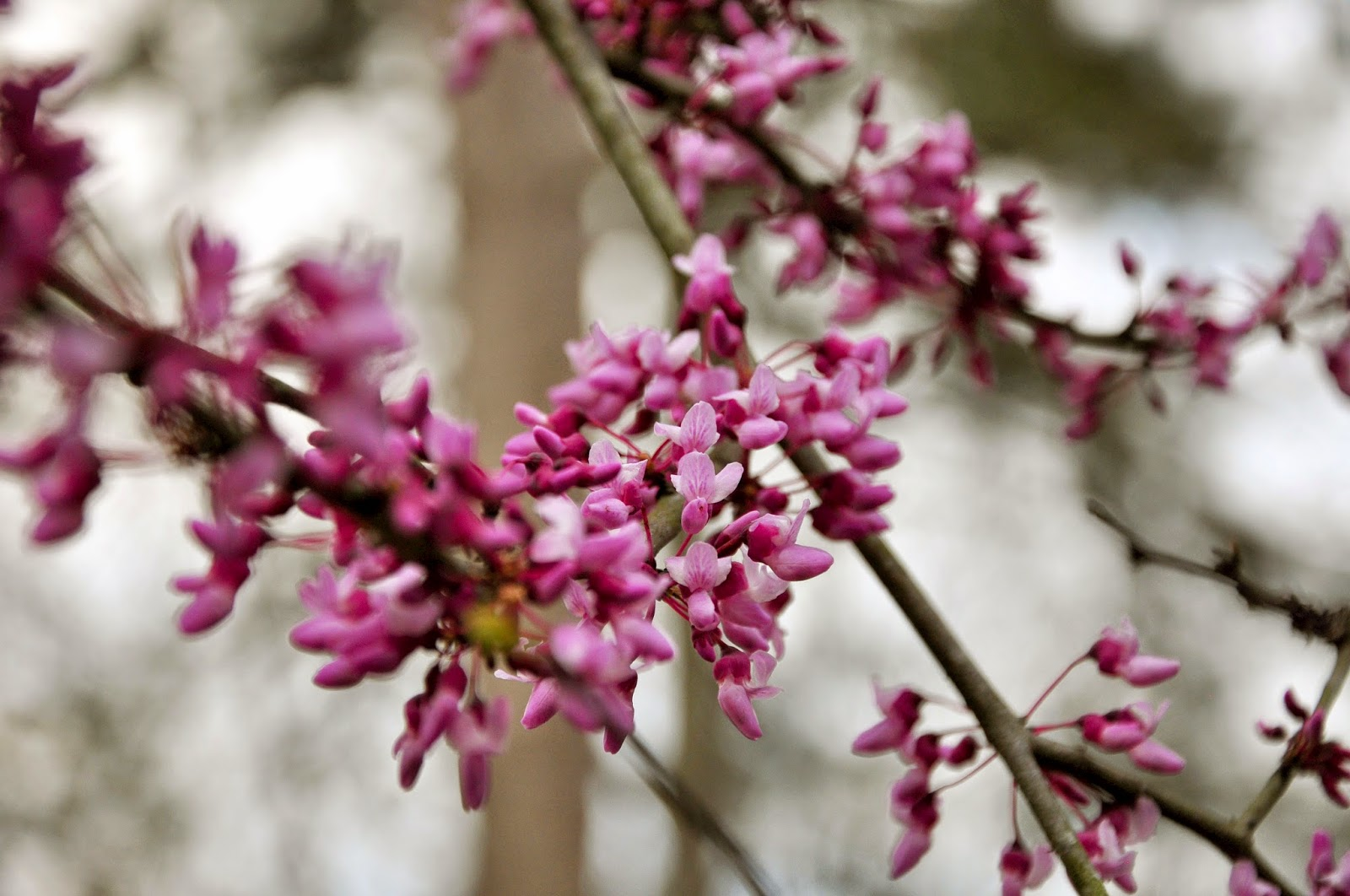 Redbud Trees Hickory Ridge Studio