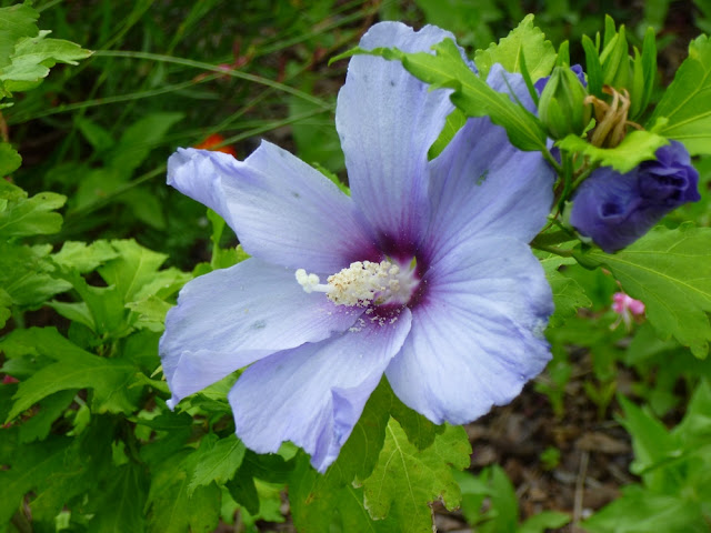 "Hibiscus syriacus, Rose of Sharon, ""Blue Bird"""