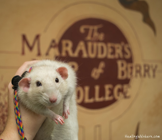 Oliver the Therapy Rat at the Academic Support Center at Berry College in front of the Marauder's Map
