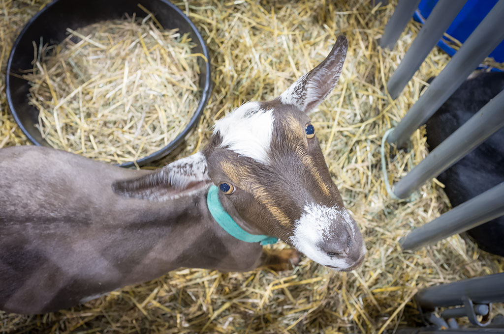 Goat at the York Fair