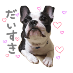 French bulldog KEN!
