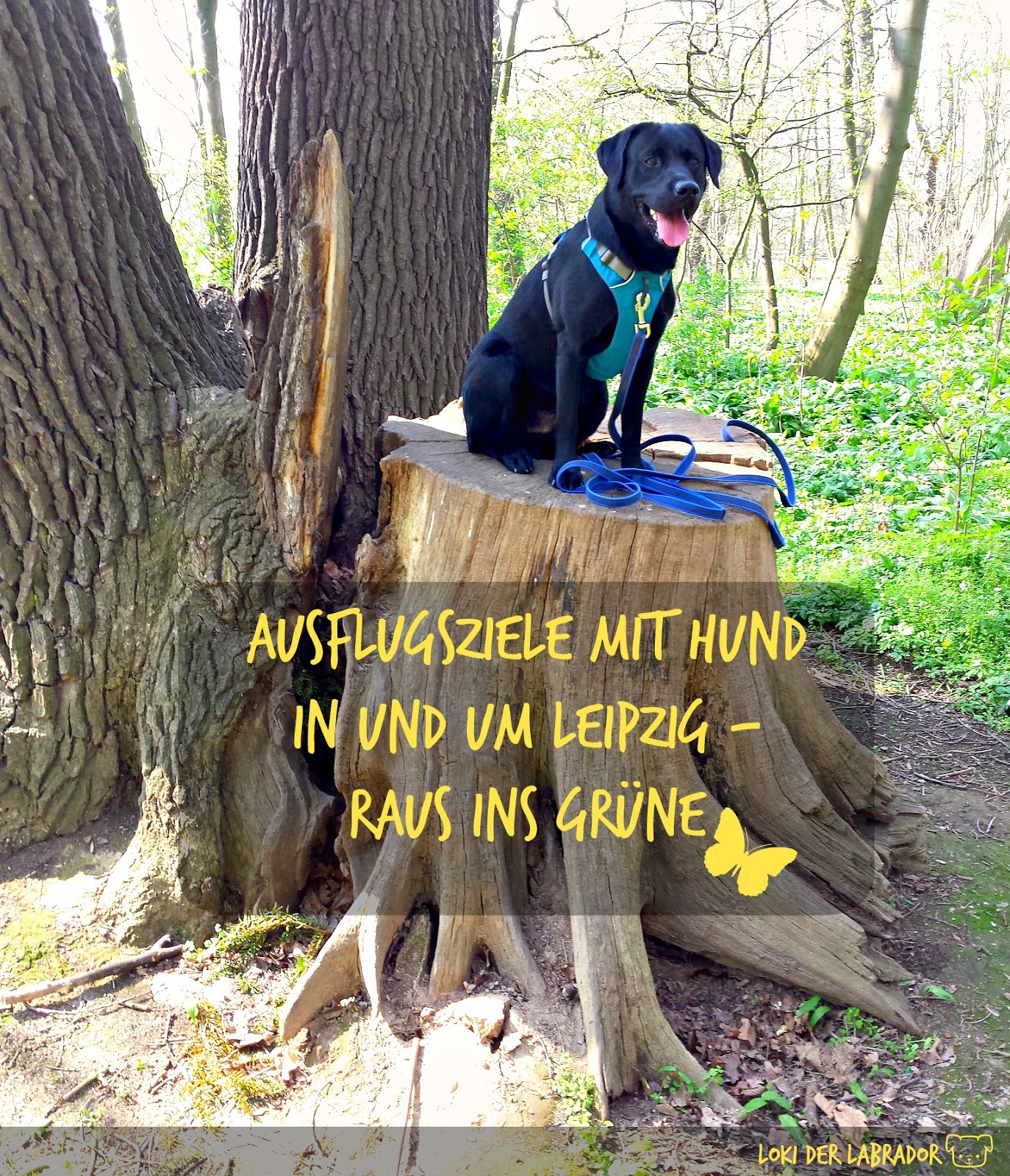 Schwarzer Labrador Loki auf einem Baumstamm