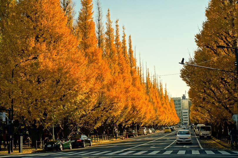 Meiji Jingu Gaien Ginkgo row of Trees, Icho Namiki Avenue | Tokya