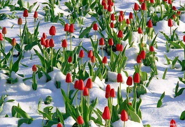 The tulips in the snow