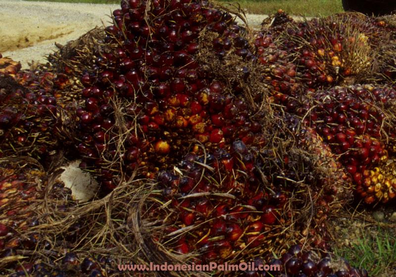 Produksi kelapa sawit PTPN III Merugi