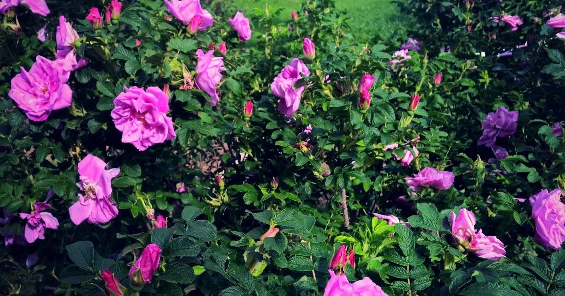 DIY Rose Petal Extract
