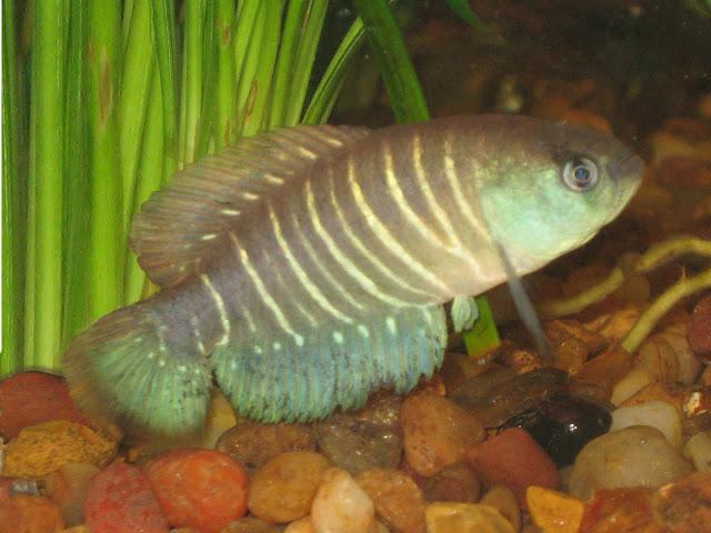 Austrolebias adloffi in aquarium