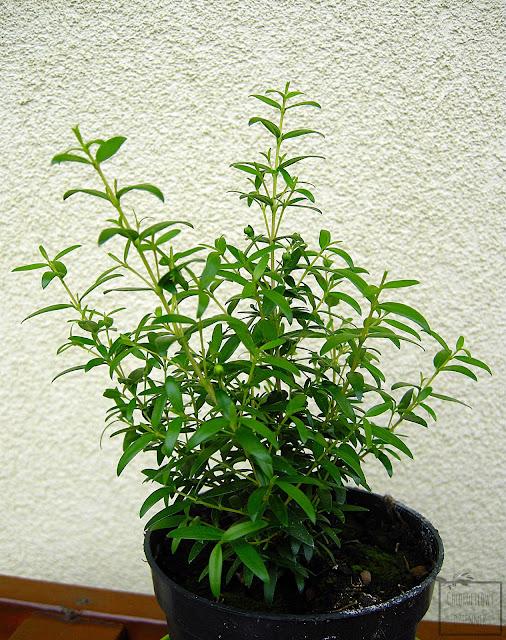 Mirt pospolity, zwyczajny (Myrthus communis) - wzrost, liście pokrój. Roślina śródziemnomorska, przyprawowa, zapachowa.
