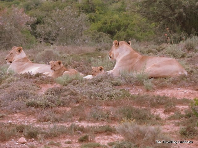Lioness and cubs at Shamwari