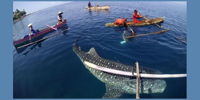 Peristiwa Langka, Ikan Hiu Paus Muncul di Teluk Jakarta, Apa Kata Ahli?