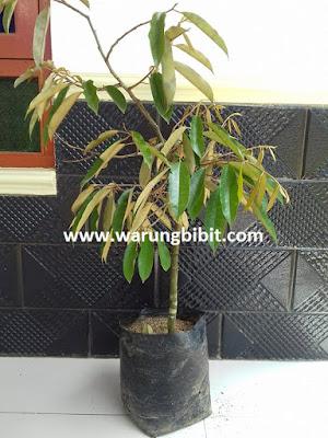 jual bibit tanaman petruk, pohon durian petruk, jual tanaman durian petruk, keunggulan durian petruk