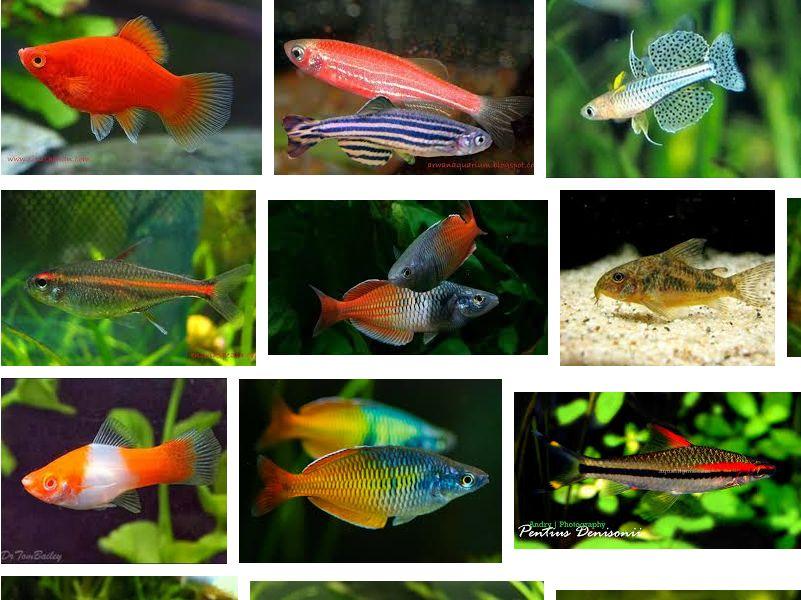 Jenis Ikan Hias Aquascape yang Kuat dan Terindah dan harganya