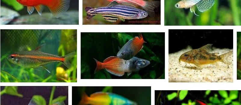 Jenis Ikan Hias Aquascape Paling Lengkap Sekarang Ini
