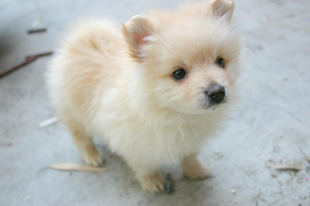 Cute Puppy Dogs: Pomeranian Puppies
