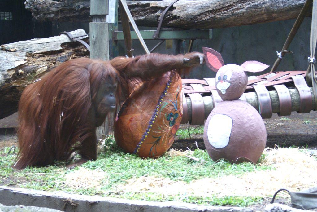 orangutan 719507