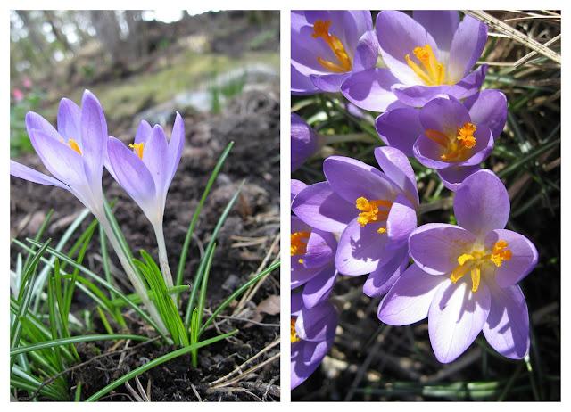 Er du klar for en ny vår i hagen din? Krokus i blomsterbed