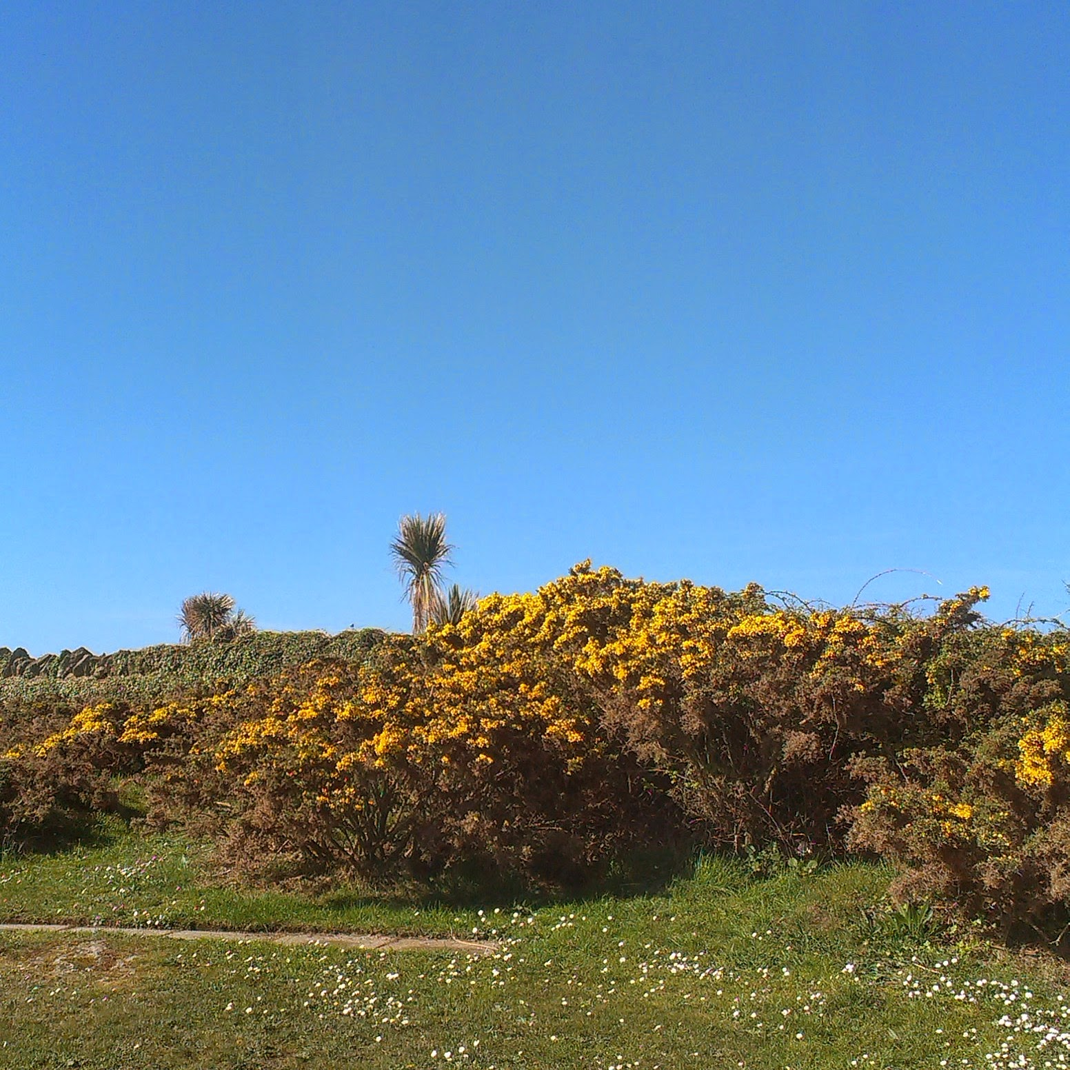 Blue skies and gorse